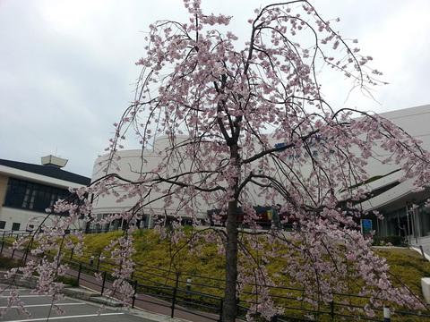 Sanpalace_Sakura2.jpg