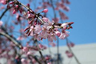 春のサンパレス 枝垂桜のエントランス